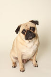 Cucciolo del Pug Fotografie Stock