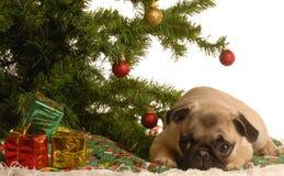 Cucciolo del Pug sotto l'albero di Natale Fotografia Stock