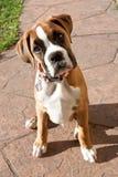 Cucciolo del pugile che osserva in su Fotografia Stock Libera da Diritti