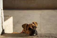 Cucciolo del pugile che sembra triste o solo Immagini Stock