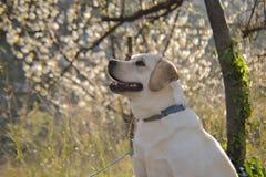 Cucciolo del retriver di Labrador fotografia stock
