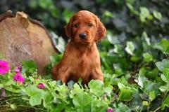 Cucciolo del setter Irlandese che si siede nell'edera Immagini Stock