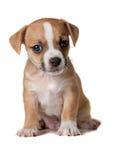 Cucciolo del Terrier Immagine Stock