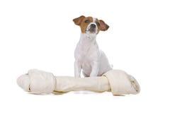 Cucciolo del terrier del Jack Russel Fotografia Stock Libera da Diritti
