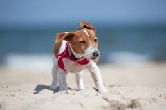 Cucciolo del terrier del Jack Russel Fotografia Stock