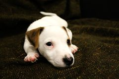 Cucciolo del Terrier del Jack Russel Immagine Stock Libera da Diritti