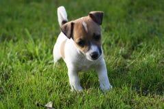 Cucciolo del Terrier del Jack Russell Fotografie Stock Libere da Diritti