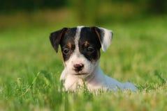 Cucciolo del Terrier del Jack Russell Fotografia Stock