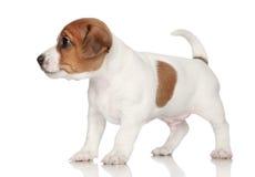 Cucciolo del Terrier del Jack Russell Immagini Stock