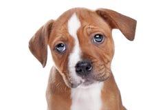 Cucciolo del Terrier dello Staffordshire Bull Fotografie Stock