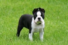Cucciolo del Terrier di Boston Fotografie Stock Libere da Diritti