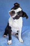Cucciolo del terrier di Boston Immagine Stock Libera da Diritti
