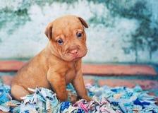 Cucciolo del terrier di Brown Fotografia Stock Libera da Diritti