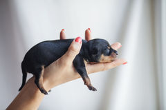 Cucciolo del terrier di giocattolo Immagini Stock
