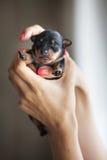 Cucciolo del terrier di giocattolo Immagine Stock
