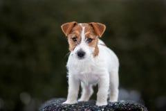 Cucciolo del terrier di Jack russell che posa all'aperto fotografie stock libere da diritti