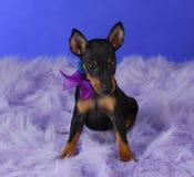 Cucciolo del terrier di Manchester Fotografia Stock Libera da Diritti