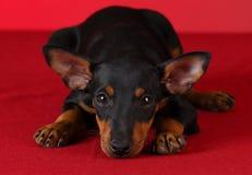 Cucciolo del terrier di Manchester del giocattolo Fotografie Stock