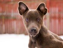 Cucciolo del terrier di Pattedale Fotografia Stock Libera da Diritti