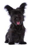 Cucciolo del terrier di Skye isolato Fotografie Stock Libere da Diritti