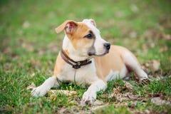 Cucciolo del terrier di Staffordshire americano Fotografia Stock