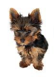 Cucciolo del Terrier di Yorkshire Immagini Stock Libere da Diritti