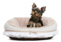 Cucciolo del Terrier di Yorkshire, 2 mesi, sedentesi Immagine Stock Libera da Diritti