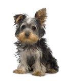 Cucciolo del Terrier di Yorkshire (3 mesi) Fotografia Stock
