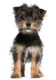 Cucciolo del Terrier di Yorkshire, 3 mesi, levantesi in piedi Immagini Stock Libere da Diritti