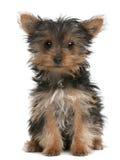 Cucciolo del Terrier di Yorkshire, 3 mesi, sedentesi Fotografia Stock Libera da Diritti