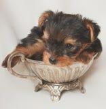 Cucciolo del terrier di Yorkshire Fotografie Stock Libere da Diritti