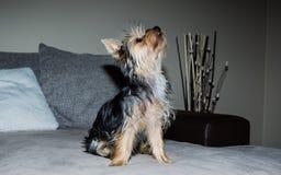 Cucciolo del terrier di Yorkshire Immagini Stock