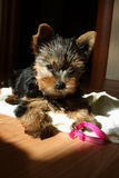 Cucciolo del terrier di Yorkshire Immagine Stock Libera da Diritti