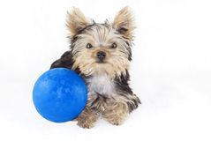 Cucciolo del Terrier di Yorkshire con la sfera blu Immagini Stock Libere da Diritti