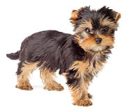 Cucciolo del Terrier di Yorkshire isolato Fotografia Stock Libera da Diritti