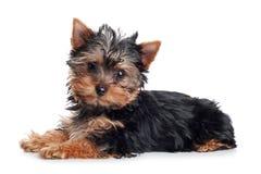 Cucciolo del Terrier di Yorkshire su una priorità bassa bianca Fotografia Stock