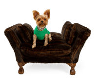 Cucciolo del Terrier di Yorkshire sulla base della pelliccia in un maglione Fotografie Stock Libere da Diritti