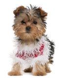 Cucciolo del Terrier di Yorkshire vestito in su Immagini Stock