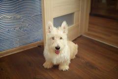Cucciolo del terrier scozzese Fotografie Stock Libere da Diritti