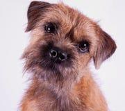Cucciolo del Terry del bordo Fotografie Stock