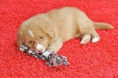 Cucciolo del Toller dell'anatra della Nuova Scozia Fotografia Stock Libera da Diritti