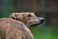 Cucciolo del Vista-segugio fotografia stock libera da diritti