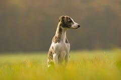 cucciolo del whippet Fotografie Stock Libere da Diritti