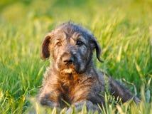 Cucciolo del Wolfhound irlandese. Ritratto Fotografia Stock Libera da Diritti
