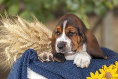 Cucciolo delicato e dolce di basset hound con gli occhi tristi che si siedono in una b fotografia stock