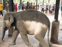 Cucciolo dell'elefante Immagini Stock