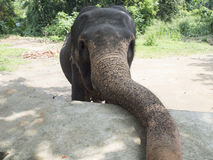 Cucciolo dell'elefante Immagini Stock Libere da Diritti