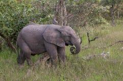 Cucciolo dell'elefante africano in Sudafrica Fotografia Stock