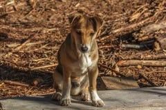 Cucciolo dell'ibrido del cane Fotografie Stock Libere da Diritti