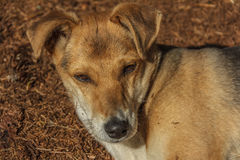 Cucciolo dell'ibrido del cane Fotografia Stock